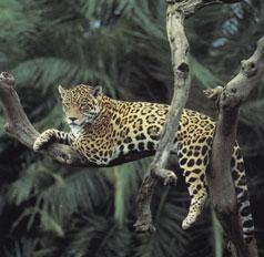 غابات الأمازون Jaguar